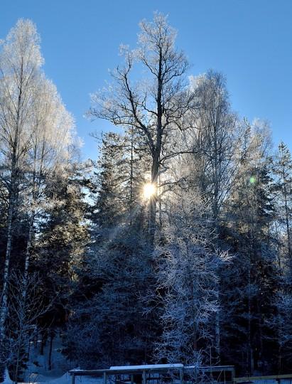 Rimfrost på träden