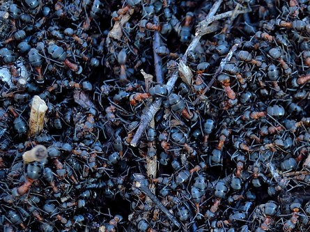 Flitiga myror