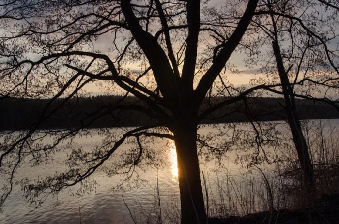 Träd i solnedgången