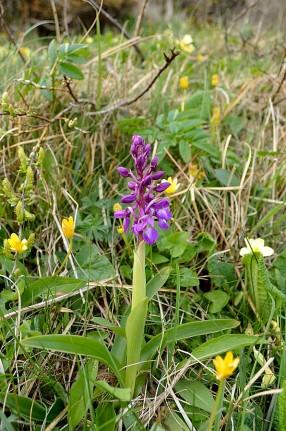 En lila orkidé