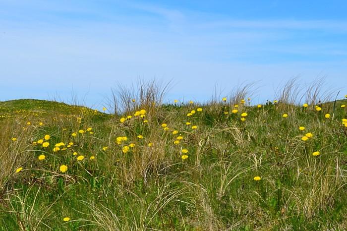 Blommande strandängar