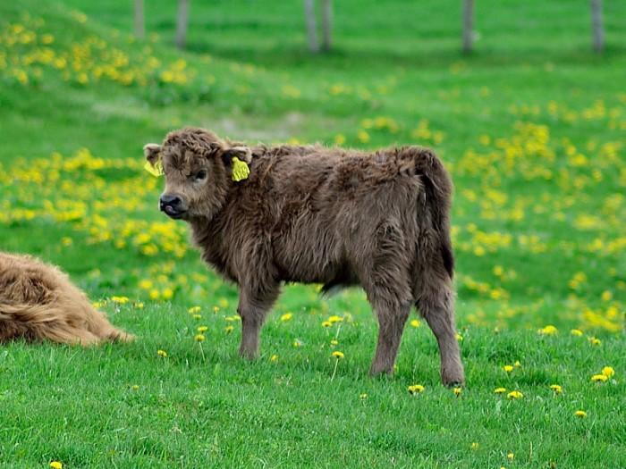 Den lilla Highland-kalven