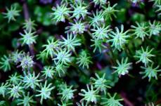 Moss-stjärnor