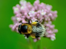Humleblomfluga