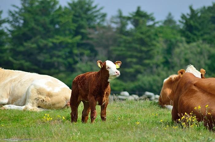 Vilande kor och en kalv