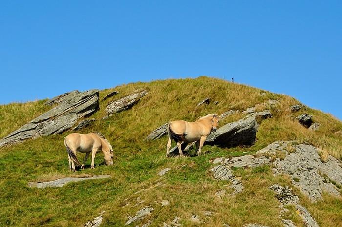 Norska fjordingar