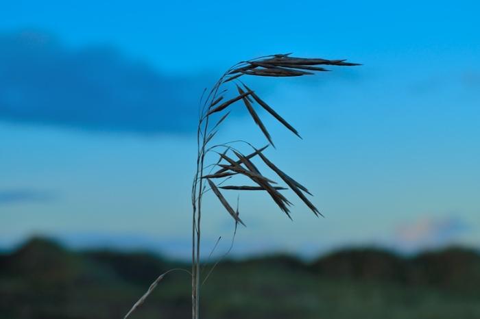 Gräs i kvällningen