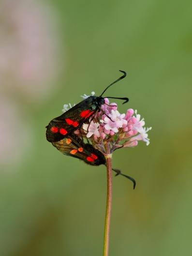 Fjärilskärlek