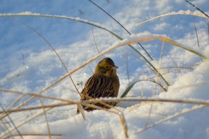Letar mat i snön