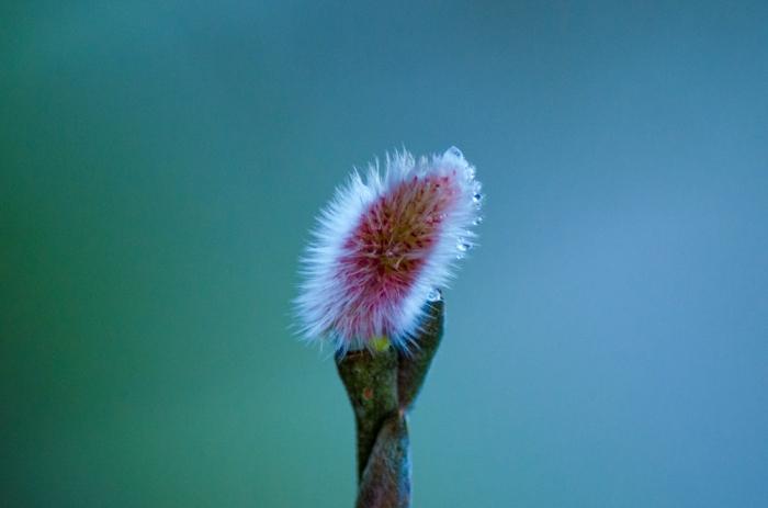 Pilblomma i vår buske