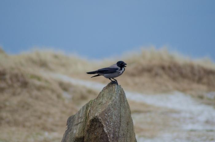 Kråkan på stenen