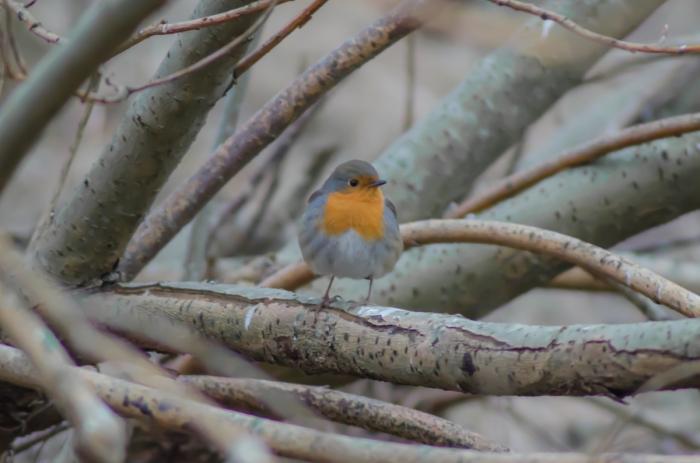 En röd liten fågel