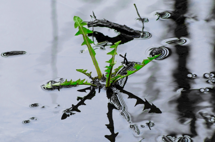 Maskros i vatten
