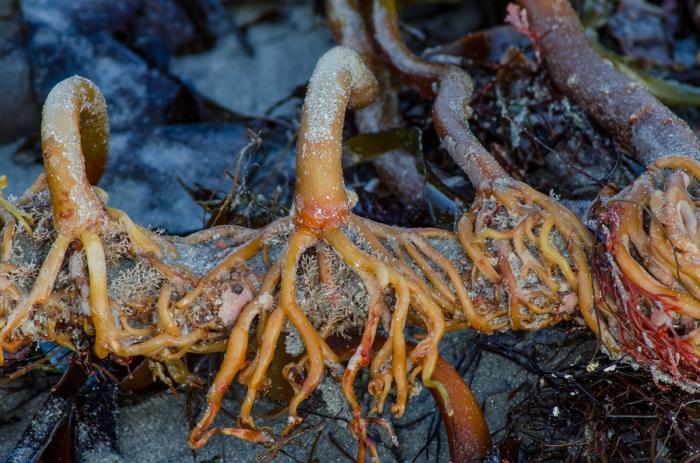 Rötter från havet