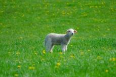 Lamm i det gröna