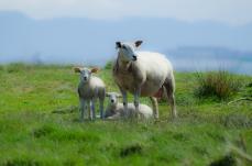 Lilla får-familjen