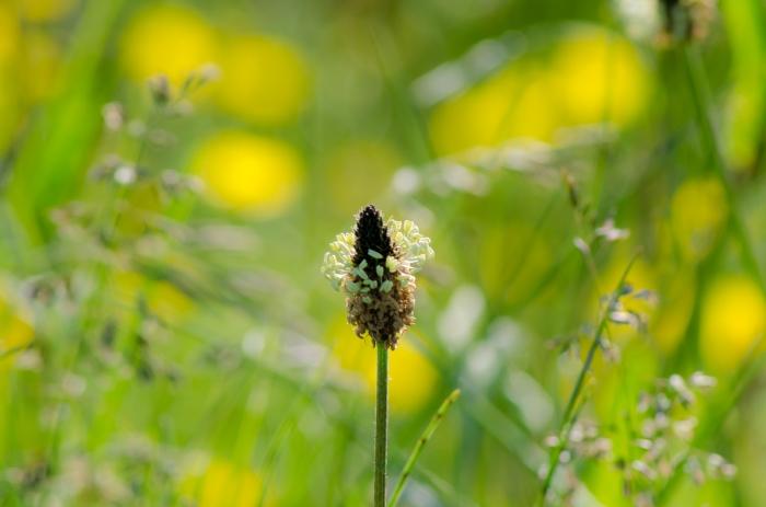 Blomma eller gräs?