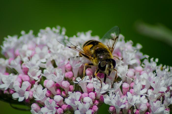En blomfluga