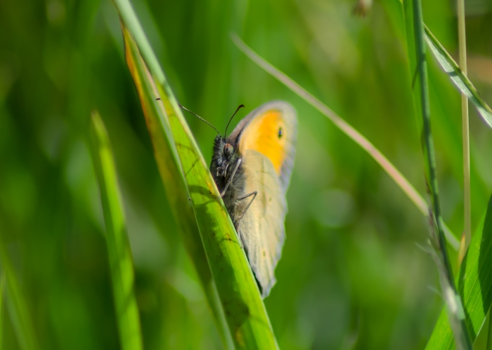 Gömmer sig i gräset