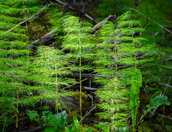 Skogsfräken