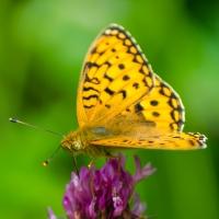 Fjärilar i Bråfors