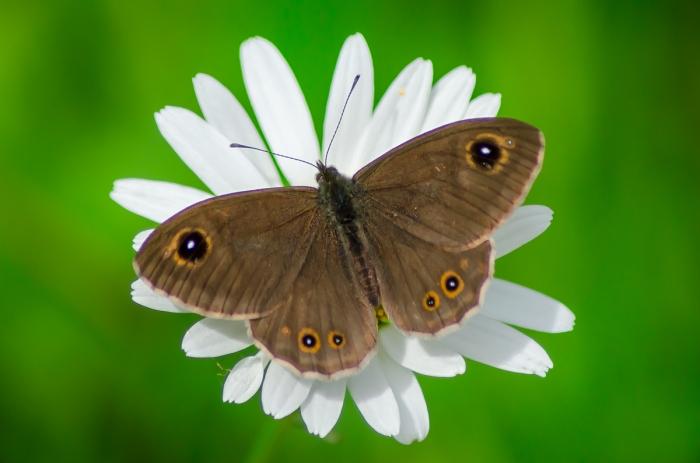 Vitgräsfjäril