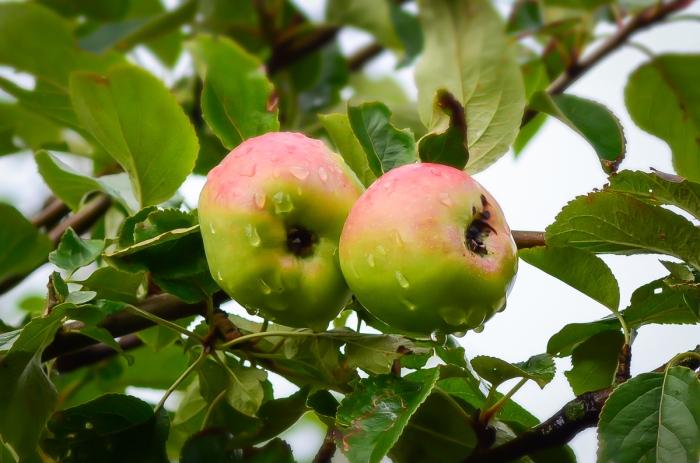 Äpplen på gren