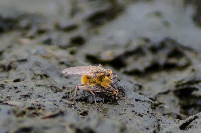 Dyngflugor
