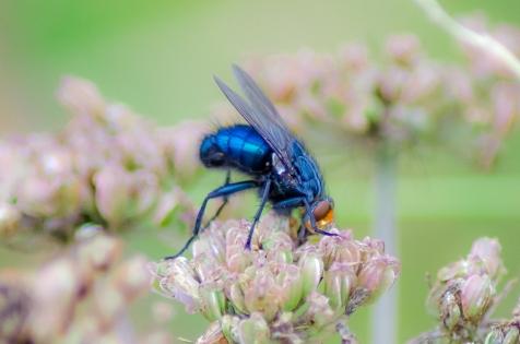 Spyfluga blå metallic
