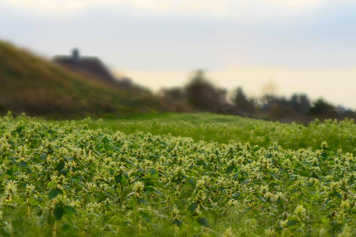 Blommande fält