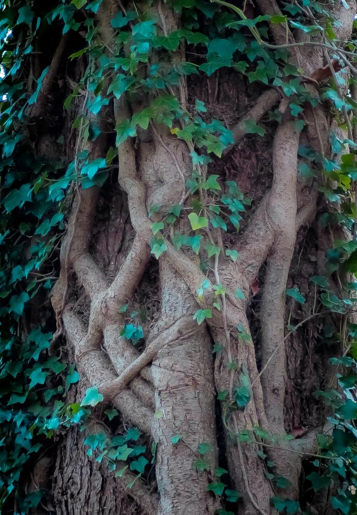 Murgröna på träd