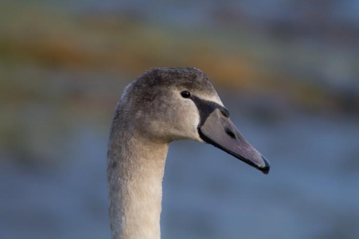 Porträtt av en ung svan