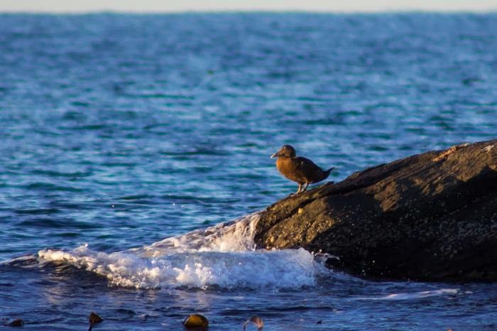 Sjöfågel