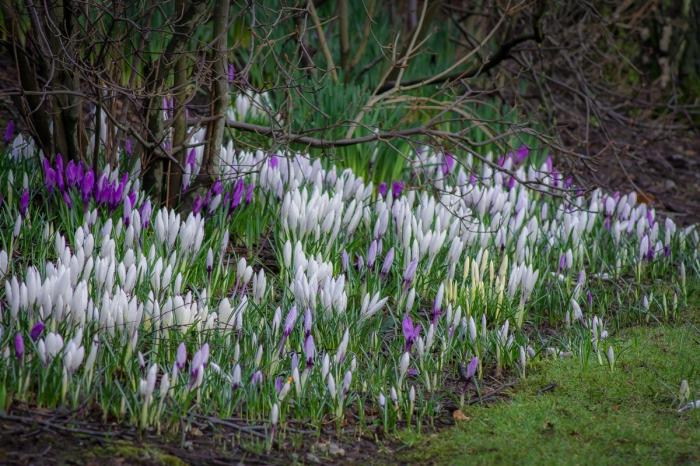 Vita och lila krokusar