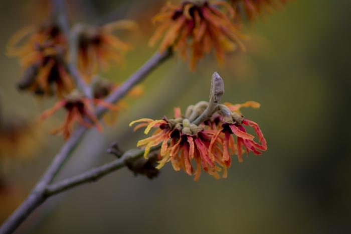 Trollhassel-blomma