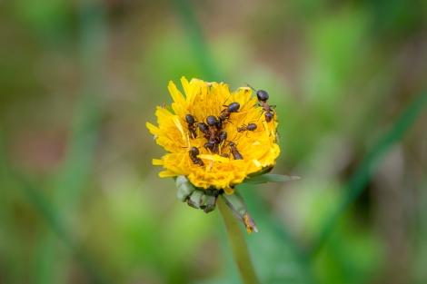 Myror på Maskros