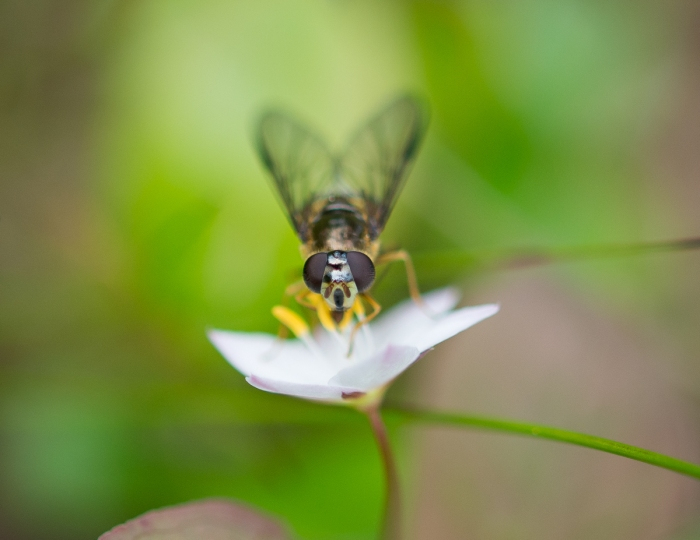 Fluga på skogsstjärna