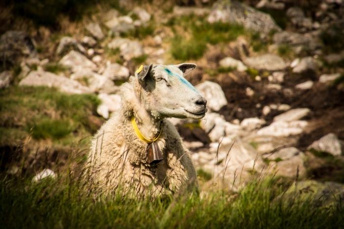 Ett får vid Lortabu