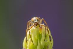 Spindel på lupin