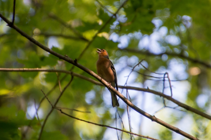 Bofinken sjunger