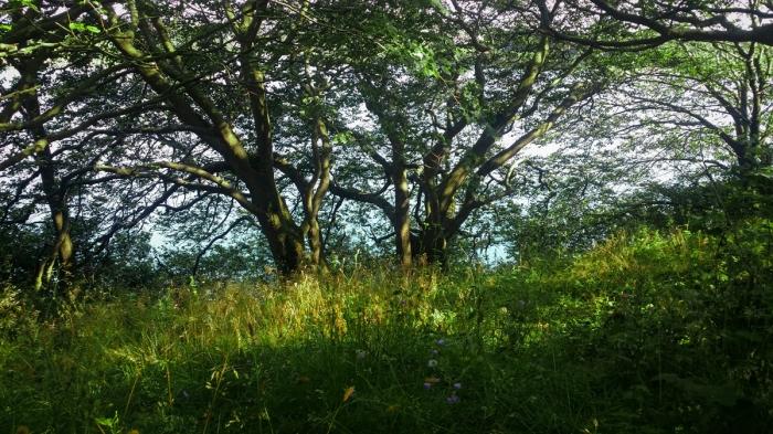 Hasselträd