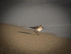 Strandfågel