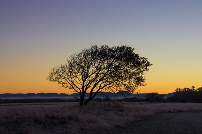 Träd i soluppgången