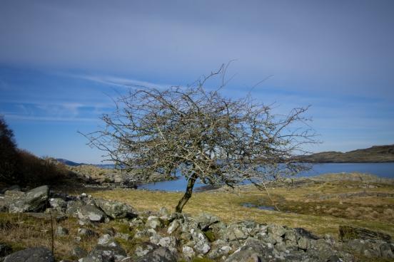 Vindpinat träd