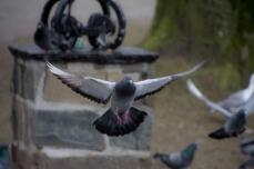 Flygande duva