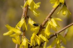 Forsythia med fluga