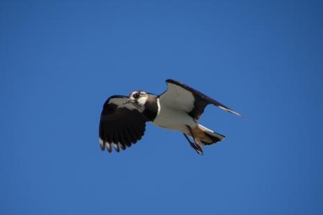 Flygande tofsvipa