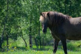 Hårfager häst