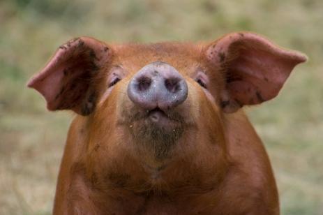 Puss på dig grisen