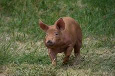 Springande gris